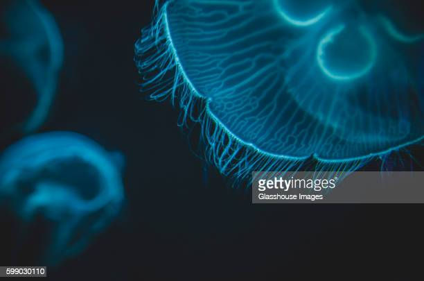 close-up detail of moon jellyfish, national aquarium, baltimore, maryland, usa - phosphorescence stock pictures, royalty-free photos & images