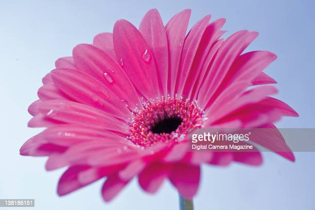 Closeup detail of water droplets on the petals of a pink Gerbera daisy session for Digital Camera on November 11 2010