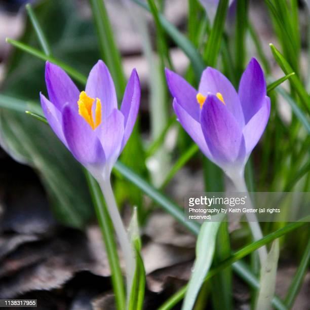 close-up early flowering outdoors garden bulbs - blumenzwiebel stock-fotos und bilder