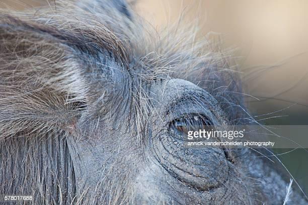 close-up eye of phacochoerus or warthog. - facocero foto e immagini stock