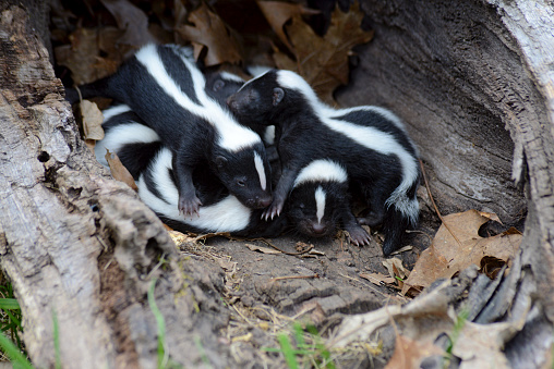 Closeup family of baby skunks in hollow log. 508024184