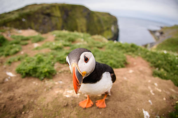 Closeup Fisheye View Of Puffin On Skomer Island Wall Art