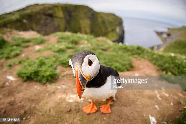 closeup fisheye view of puffin on skomer island - northern europe stock pictures, royalty-free photos & images