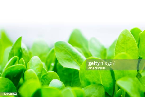 close-up fresh green leaf - jong heung lee stock pictures, royalty-free photos & images