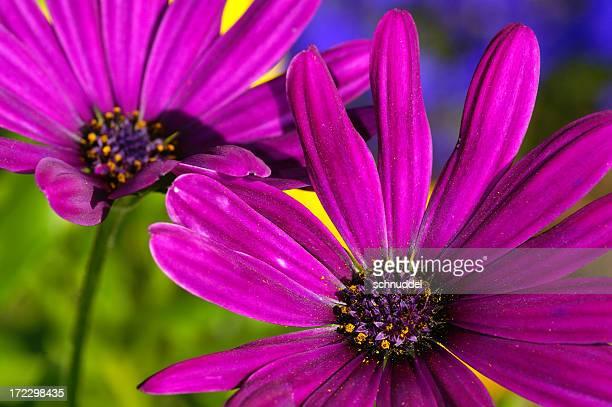 Nahaufnahme von purple Kapastern