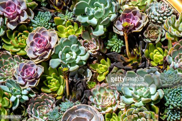 close-up, full frame image of beautiful sempervivum plants also known as houseleeks, liveforever and hen and chicks - design stock pictures, royalty-free photos & images