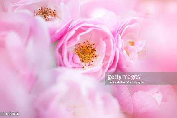 close-up, full frame image of beautiful summer flowering, pink, english roses - jardin fleuri photos et images de collection