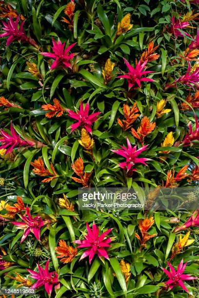 close-up, full frame, vibrant red and green bromeliad flowers - bromeliaceae stock pictures, royalty-free photos & images