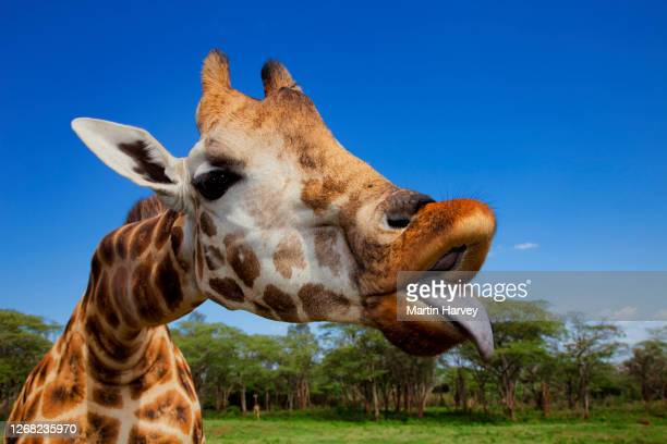 close-up funny portrait of adult rothschild giraffe (giraffa camelopardalis rothschildi) sticking out its tongue - 動物の舌 ストックフォトと画像