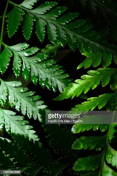 closeup green fern leaves on black background - frische stockfoto's en -beelden