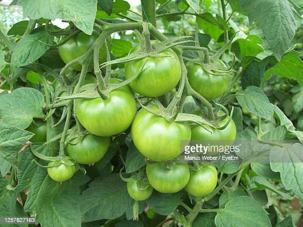 close-up growing plant - unripe stock pictures, royalty-free photos & images