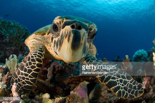 Closeup Hawksbill Sea Turtle Underwater By Colorful Coral