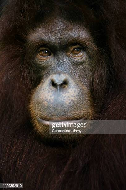 close-up head shot of female orangutan - animal welfare stock photos and pictures