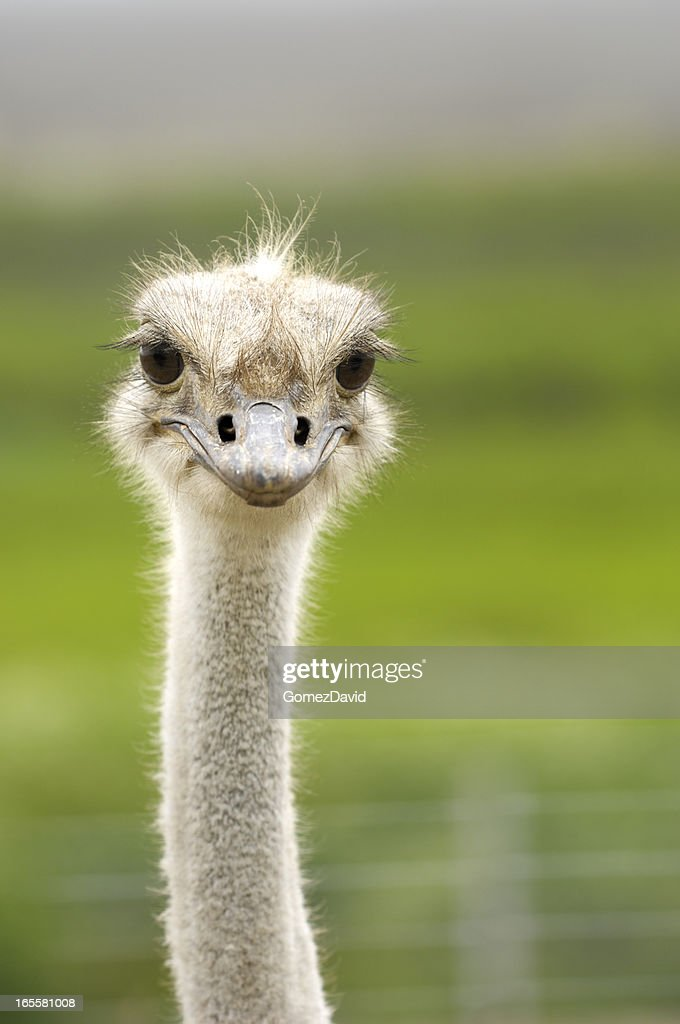 Close-up Head Shot of One Ostrich : Stock Photo