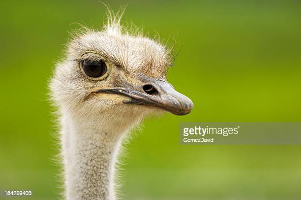 close-up head shot of one ostrich - ostrich stockfoto's en -beelden