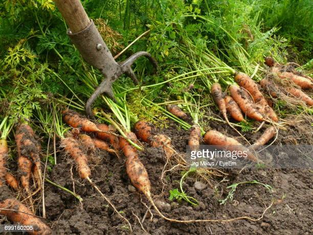 Close-Up High Angle View Of Carrots