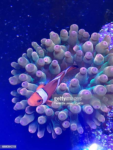 Close-Up High Angle View Of Clownfish In Anemone