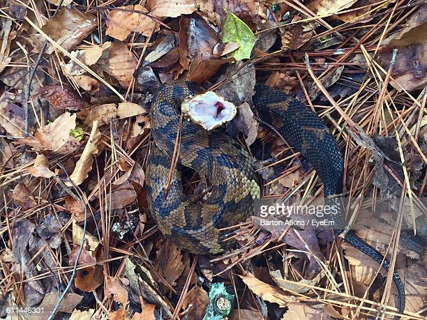 close-up high angle view of cottonmouth snake on the ground - cottonmouth snake stock pictures, royalty-free photos & images