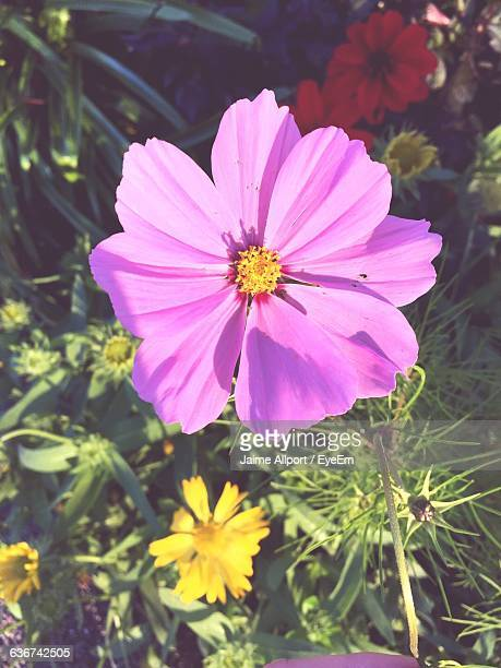 close-up high angle view of pink flower - flower head stock pictures, royalty-free photos & images