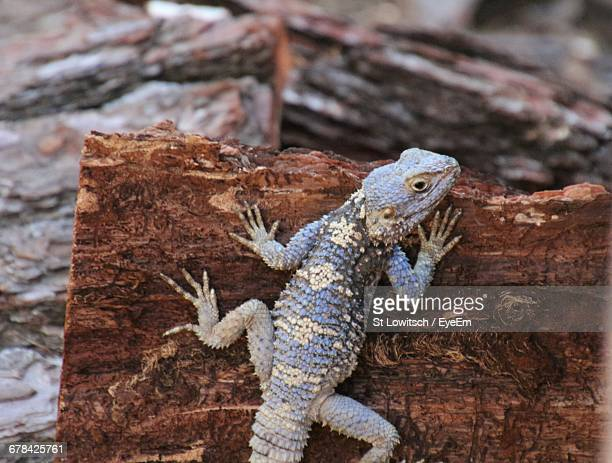 close-up high angle view of reptile on wood - lowitsch stock-fotos und bilder