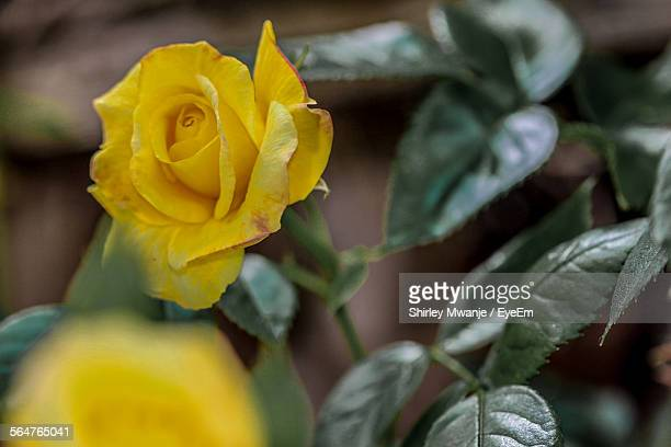 Close-Up High Angle View Of Yellow Rose