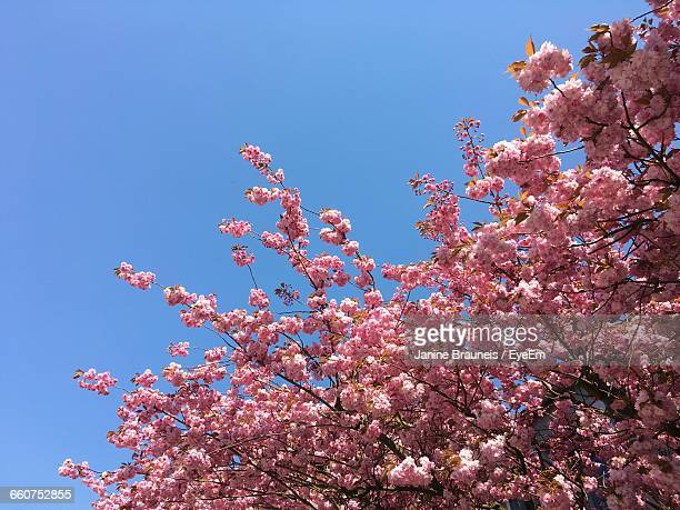 Close-Up High Section Of Flower Tree Against Clear Sky