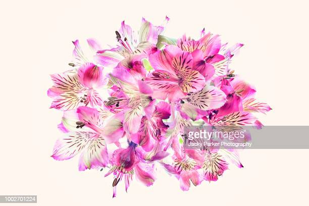 A close-up, high-key display of vibrant pink Alstroemeria flowers, commonly called the Peruvian lily or lily of the Incas
