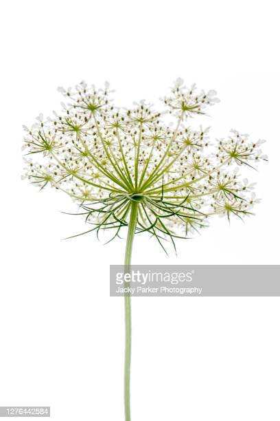 close-up, high-key image of the beautiful queen anne's lace also known as daucus carota - white background stock pictures, royalty-free photos & images
