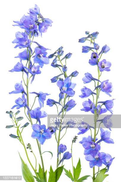 close-up, high-key image of the beautiful spring flowering, blue delphinium flowers - flower stock pictures, royalty-free photos & images