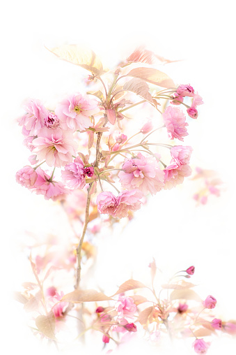 Close-up, high-key image of the beautiful spring flowering pink Cherry blossom flowers of the Japanese flowering Cherry tree Prunus 'Kanzan' - gettyimageskorea