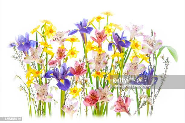 close-up, high-key image of the beautiful spring flowering, yellow daffodils, blue irises and peruvian lily flowers - daffodil stock pictures, royalty-free photos & images
