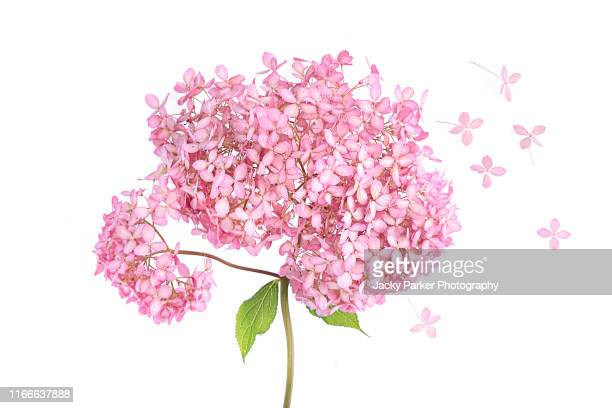 """close-up, high-key image of the beautiful summer flowering pink flowers of hydrangea """"invincible spirit"""" taken against a white background - hydrangea stock pictures, royalty-free photos & images"""
