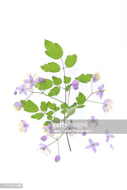 close-up, high-key image of the tiny lilac flowers of thalictrum delavayi, also known as chinese meadow rue. - ライラック ストックフォトと画像