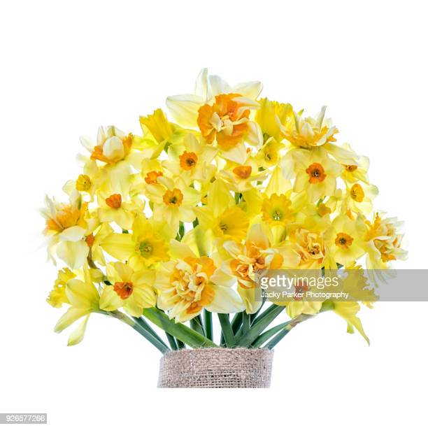 close-up, high-key image of varieties of yellow spring daffodils against a white background, also known as narcissus or daffs. - narcissus mythological character stock photos and pictures
