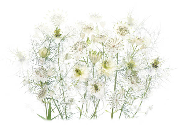Close-up, high-key image or white Astrantia and Love-in-a-mist flowers also known as Masterwort and Nigella, arranged against a white background