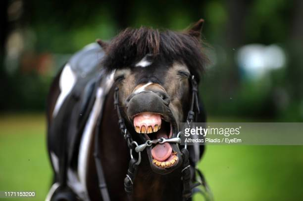 close-up horse with mouth open - 馬具 ストックフォトと画像