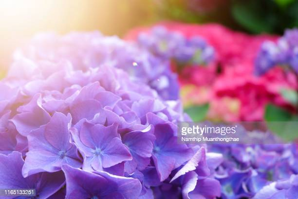 close-up hydrangea macrophylla flowers in the summertime under the warm light in europe - あじさい ストックフォトと画像