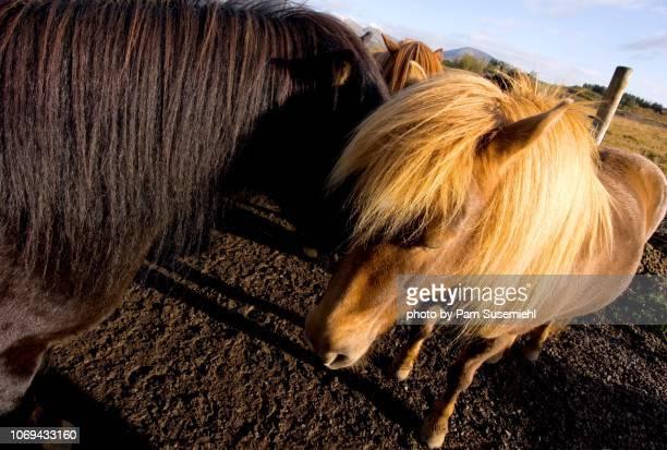 close-up, icelandic horse in corral - inclinando se - fotografias e filmes do acervo