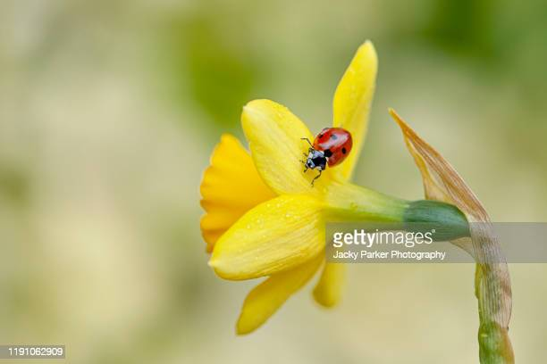 close-up image of a 7-spot ladybird - coccinella septempunctata on a spring flowering yellow daffodil flower also known as narcissus - daffodils stock pictures, royalty-free photos & images