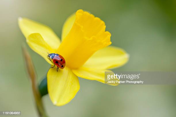close-up image of a 7-spot ladybird - coccinella septempunctata on a spring flowering yellow daffodil flower also known as narcissus - fragility stock pictures, royalty-free photos & images
