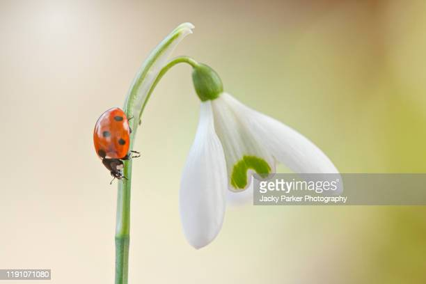 close-up image of a 7-spot ladybird - coccinella septempunctata on a spring flowering white common snowdrop flower also known as galanthus nivalis - snowdrop stock pictures, royalty-free photos & images
