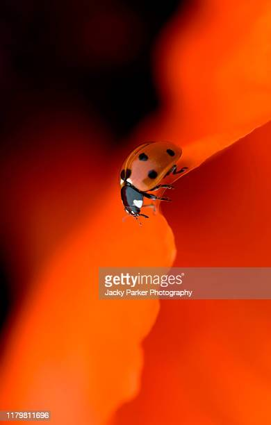 close-up image of a 7-spot ladybird coccinella septempunctata on a vibrant red poppy flower - oriental poppy stock pictures, royalty-free photos & images