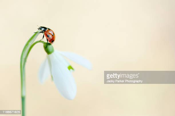 close-up image of a 7-spot ladybird - coccinella septempunctata resting on a spring snowdrop flower - muted backgrounds stock pictures, royalty-free photos & images