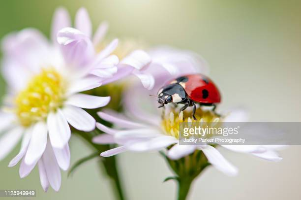 close-up image of a 7-spot ladybird, ladybug -  resting of a white daisy flower also known as coccinella septempunctata - seven spot ladybird stock pictures, royalty-free photos & images