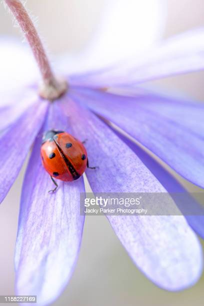 close-up image of a 7-spot ladybird, ladybug resting on the blue petals of an anemone blanda spring flower also known as the winter windflower - seven spot ladybird stock pictures, royalty-free photos & images