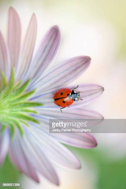 close-up image of a 7-spot ladybird on a white, summer flowering cape daisy flower also known as osteospermum - seven spot ladybird stock pictures, royalty-free photos & images