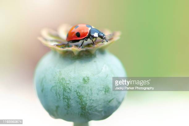 close-up image of a 7-spot ladybird on the seed head of an opium poppy - papaver somniferum - seven spot ladybird stock pictures, royalty-free photos & images