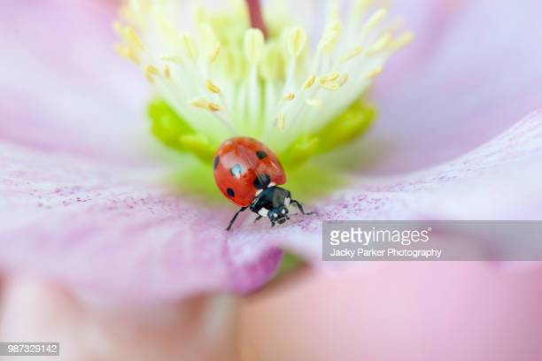 close-up image of a 7-spot ladybird resting on a spring flowering pink hellebore also known as the lenten rose or christmas rose - christmas beetle stock pictures, royalty-free photos & images