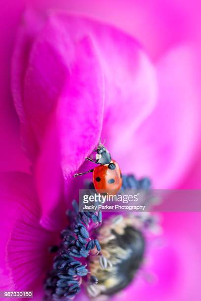 close-up image of a 7-spot ladybird resting on a spring flowering vibrant pink anemone de caen flower also known as the windflower - flower head stock photos and pictures