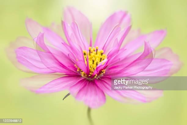 close-up image of a beautiful pink cosmos flower against a bright soft background - cosmos flower stock pictures, royalty-free photos & images